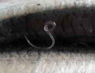 Oltre all'Anisakis: altri parassiti pericolosi sono presenti nel pesce crudo