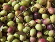 L'olio extravergine di oliva fa bene al cervello, soprattutto negli anziani