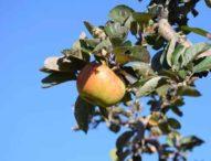 Due mele al giorno riducono il colesterolo (02/03/2020)